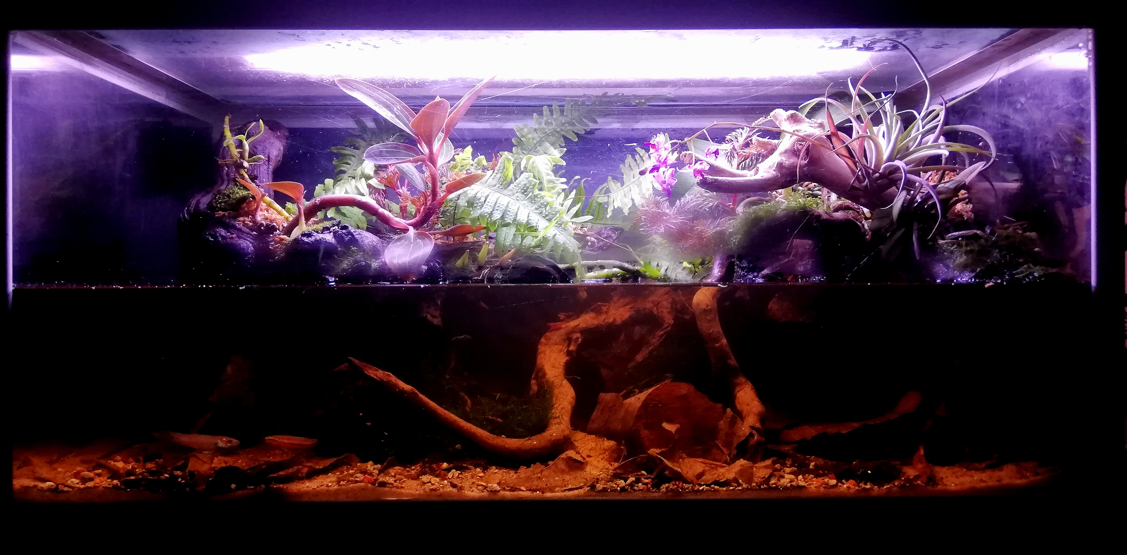 Betta gladiator akvariet 125 liter